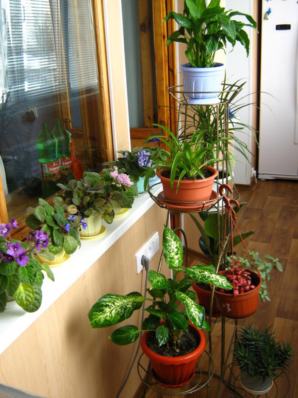 Фиалки на балконе: 5 нюансов правильного выращивания obustro.